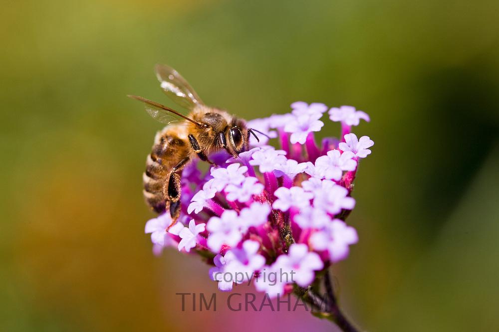 Honey bee gathering nectar from Verbena bonariensis flower
