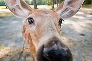 Otisville, New York - A white-tailed deer gets a close look at a camera at the Orphaned Wildlife Center on Sept. 7, 2016.