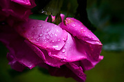 Pink rosebud with water droplets