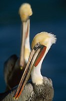 Close view of brown pelicans (Pelecanus Occidentalis) in breeding plumage.