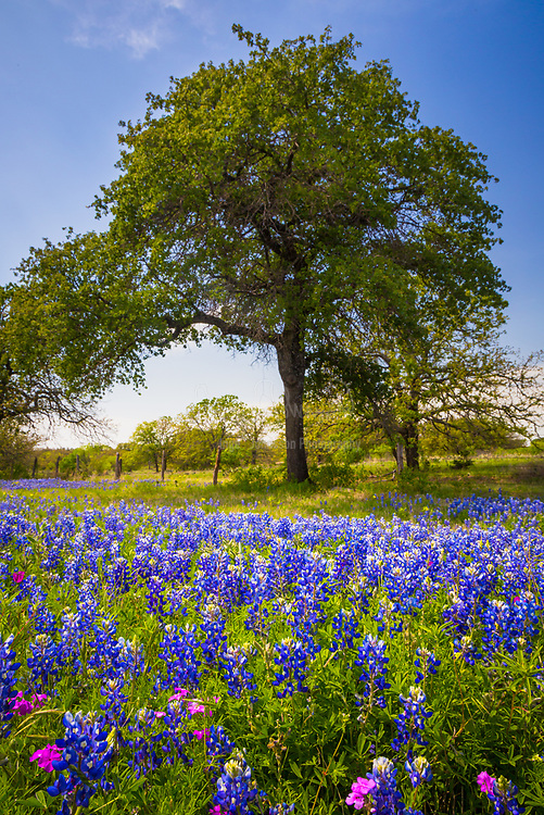 Bluebonnets and trees near Kingsland in the Texas Hill Country. Lupinus texensis, the Texas bluebonnet, is a species of lupine endemic to Texas. With other related species of lupines also called bluebonnets, it is the state flower of Texas. It is a biennial plant which begins its life as a small, gravel-like seed. The seed has a hard seed coat that must be penetrated by wind, rain, and weather over the course of a few months (but sometimes several years). In the fall, the bluebonnets emerge as small seedings with two cotyledons, and later a rosette of leaves that are palmately compound with 5-7 leaflets 3-10 cm long, green with a faint white edge and hair. Growth continues over the mild winter months and then in the spring will take off and rapidly grow larger, before sending up a 20-50 cm tall plume of blue flowers (with bits of white and occasionally a tinge of pinkish-red). The scent of these blossoms has been diversely described; many people say they give off no scent at all, while a few have described the scent as 'sickly sweet'. It has been found in the wild with isolated mutations in other colors, most notably all-white flowers, pink, and maroon. These mutations have since been selectively bred to produce different color strains that are available commercially.
