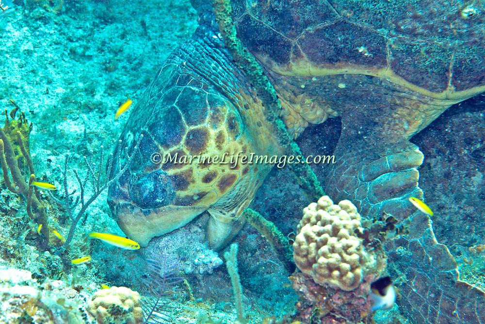 Hawksbill Sea Turtle feeding on Queen Conch a crustations; picture taken Little Cayman.