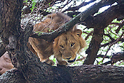 lion (Panthera leo) on a tree Photographed in Tanzania