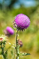 Musk thistle is a very spiky, invasive species from Eurasia and has now become a noxious weed throughout most of the world. This one was photographed in Logan County just outside of Sterling, Colorado.