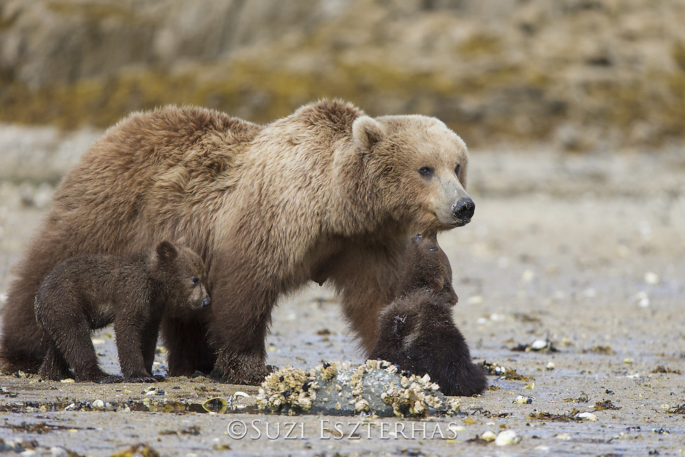 Brown Bear<br /> Ursus arctos <br /> 3-4 month old cub biting mother's chin<br /> Katmai National Park, AK