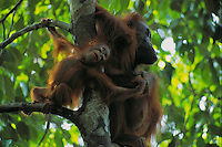 A one year old Bornean Orangutan (Pongo pygmaeus) hangs out with its mother (Beth).
