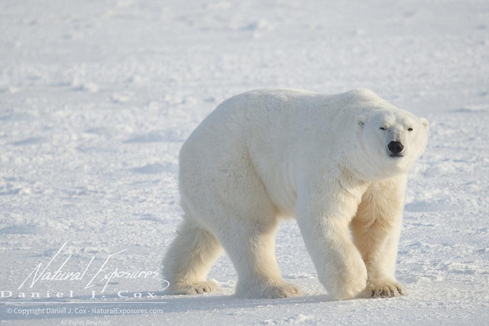 Polar bear, Cape Churchill, Manitoba.
