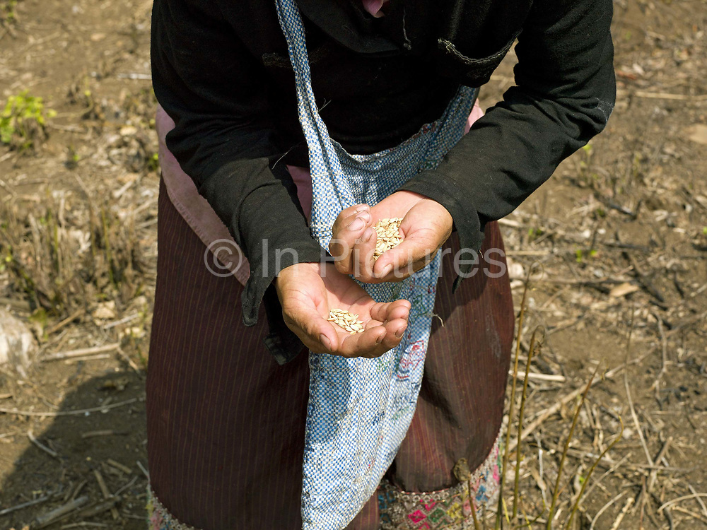 A Khmu ethnic minority woman with a handful of rice seeds ready to plant in an upland field. In slash and burn cultivation, the man walks round the land with a big stick making small indentations in the soil. The woman follows behind throwing from quite a height and with incredible precision, a handful of rice into the hole.  When it next rains the soil will wash into the hole and cover the rice.