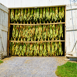 East Earl, PA, USA - August 19, 2020: Harvested tobacco hangs in a barn to dry before going to market.