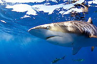 Close up of a silky shark in Cuba.