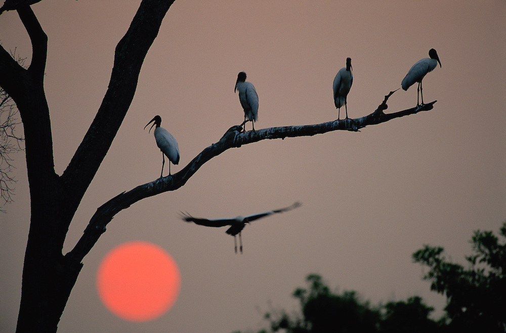Jabirú Stork, Jabiru mycteria, Pantanal, Brazil