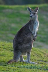 Eastern Grey Kangaroo (Macropus giganteus), Victoria, Australia, US