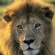 Lion, (Panthera leo) Portrait of mature male. Masai Mara Game Reserve. Kenya. Africa.