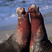 Northern Elephant Seal, (Mirounga angustirostris)  Males fighting. California.