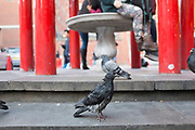 Ragged looking pigeon. Street scene in Chinatown, London, UK.