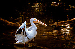The American White Pelican is a large aquatic bird from the order Pelecaniformes. It breeds in interior North America, moving south and to the coasts, as far as Central America, in winter. This shot was taken at the Saint Louis Zoo.