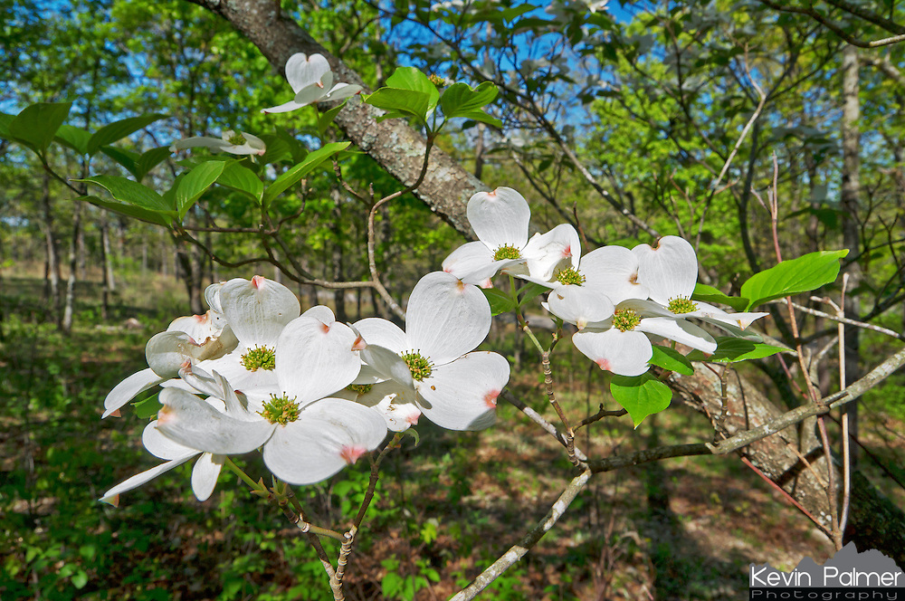 A common sight in the Ozark Mountains in the spring is to see the white blooming flowers of dogwood trees. This tree was in the woods of Ha Ha Tonka State Park, Missouri.<br /> <br /> Date Taken: April 6, 2012
