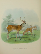 Pekin Sika Deer (Cervus nippon) in Winter Pelage from the book ' The deer of all lands : a history of the family Cervidae, living and extinct ' by Richard Lydekker, Published in London by Ward 1898