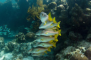 Schoolmaster (Lutjanus apodus)<br /> Halfmoon Caye, Lighthouse Reef Atoll<br /> Belize<br /> Central America