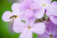 Hover fly at purple flowers in upstate NY.
