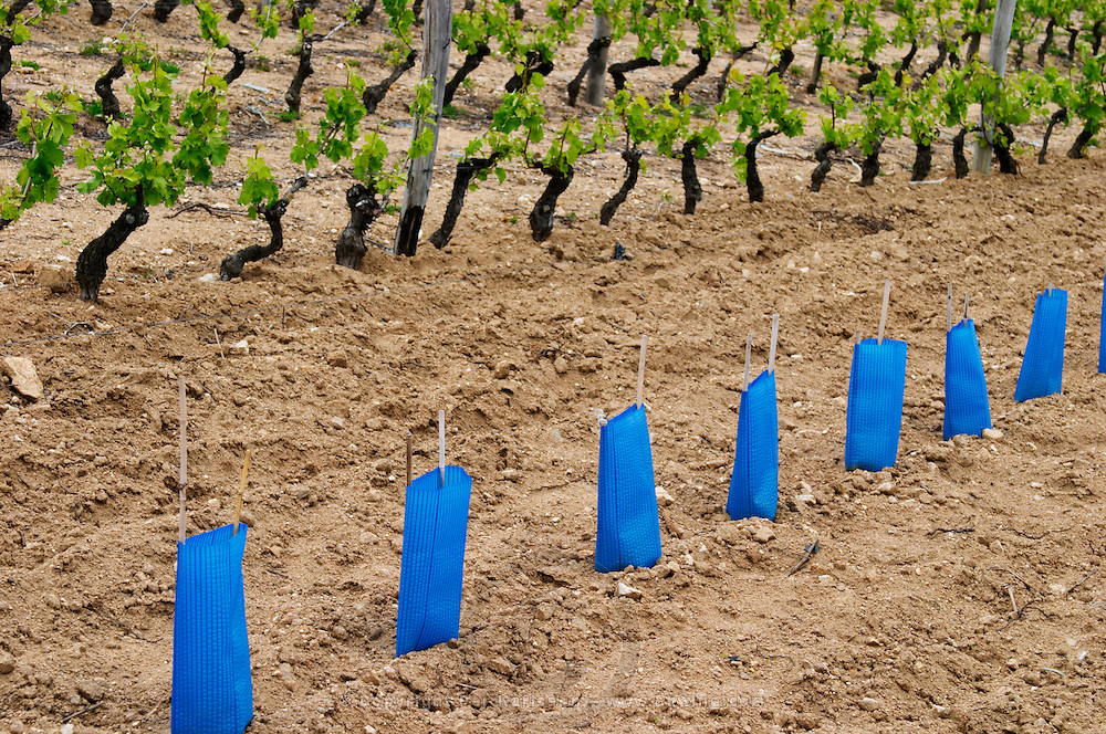 The vineyard of Pierre Gaillard in Malleval where he makes wines of the appellations Cote Rotie, Condrieu, and Saint Joseph.  On the plateau, high lying land, above the actual Rhone valley along the river. Young vines, new plantation, protected with blue plastic cover. Syrah. This particular vineyard is in Saint Joseph.  Domaine Pierre Gaillard, Malleval, Ardeche, ardèche, France, Europe