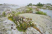 Sea mayweed (Matricaria maritima) and chives (Allium schoenoprasum).<br /> Kallskär, Stockholm Archipelago, Sweden