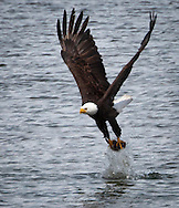 Bald Eagle (Haliaeetus leucocephalus) (Halietus leucocephalus) splashes the water and flies away with a fish over Hood Canal in Puget Sound Washington, USA