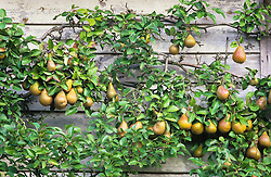 Pears, Pyrus communis 'Durondeau', trained on the barn at Great Dixter