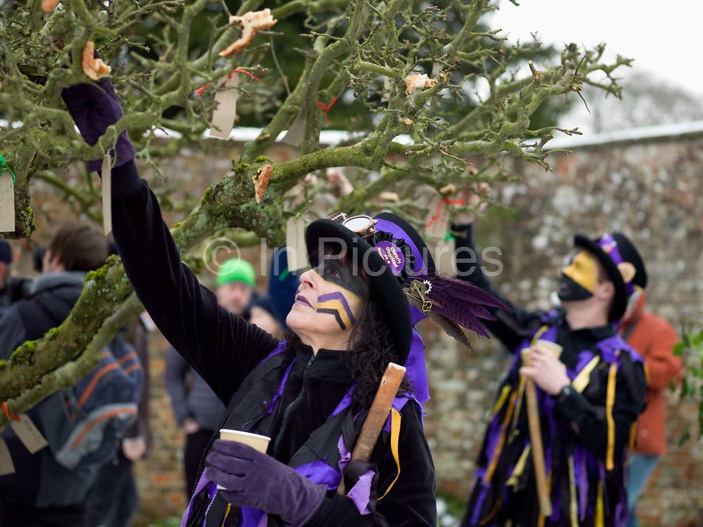 Hanging a good wishes label on a cider apple tree at an orchard-visiting wassail at Sledmere House, Yorkshire Wolds, UK on 20th January 2018. Wassail is a traditional Pagan winter celebration in cider-producing regions of England, reciting incantations and singing to the trees to promote a good harvest for the coming year. Pieces of toast soaked in cider are hung in the branches to attract robins to the tree as these are said to be the good spirits of the orchard. To ward off evil spirits, villagers scare them away by banging pots and pans and making as much noise as possible