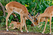 Impala fawns butt heads playfully, forest along the bank of the Chobe River, © David A. Ponton