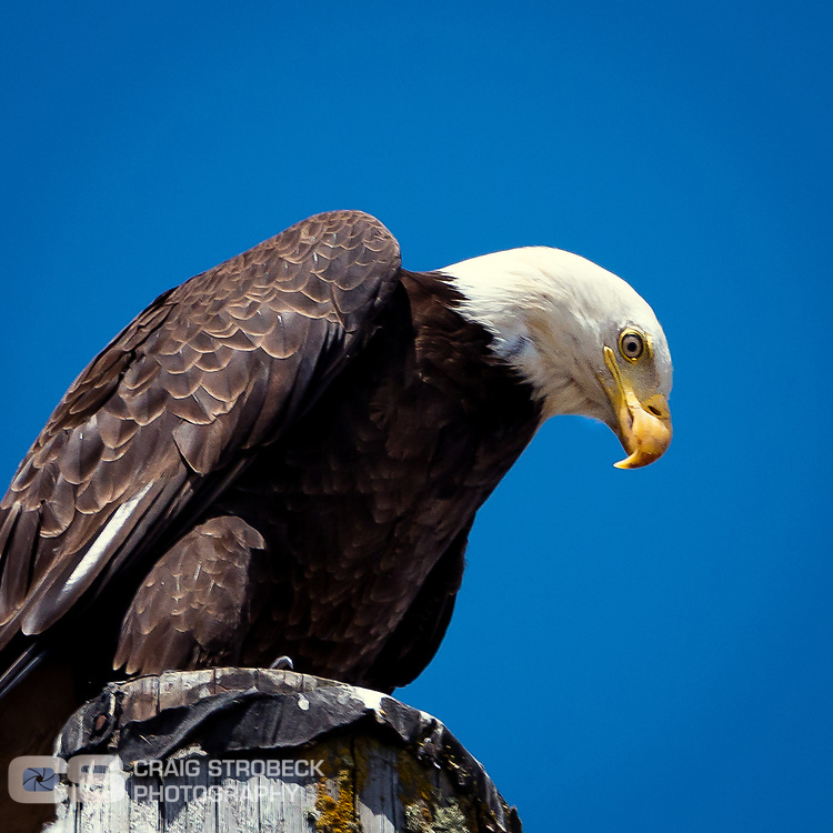 Bald Eagle in the Willamette Valley