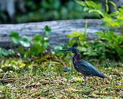Small Heron foraging on the Silver River in Ocala Florida.