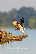 00783-01906 Osprey (Pandion haliaetus) landing at nest Rend Lake Jefferson Co. IL