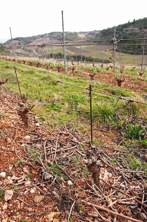 Domaine Mas Champart St Chinian. Languedoc. Vines trained in Gobelet pruning. Terroir soil. The vineyard. France. Europe.