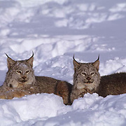 Canada Lynx, (Lynx canadensis) Montana. Pair in snow. Winter. Captive Animal.