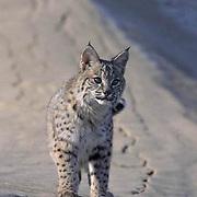 Bobcat, (Lynx rufus) In sand dunes of Little Sahara area. Utah.  Captive Animal.