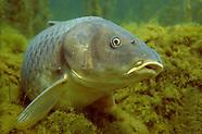 Common Carp, Underwater