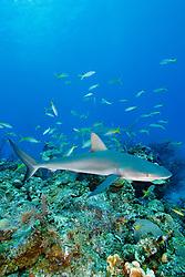 Caribbean reef sharks, Carcharhinus perezii, and yellowtail snappers, Ocyurus chrysurus, West End, Bahamas, Atlantic Ocean