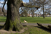 As the second week of the Coronavirus lockdown continues and a week before Easter when Prime Minister Boris Johnson reminds Britons to stay locally and not to travel to beauty spots, the UK death toll rises to 2,921, with 1m cases of Covid-19 worldwide in 181 countries, a dog grabs a ball in Brockwell Park in Herne Hill, 3rd April 2020, in south London, England.