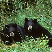 Black Bear cubs huddled together in Minnesota.