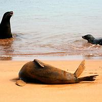 Three Galapagos Sea Lions play on the shore of Bartholomew Island. Ecuador, South America.