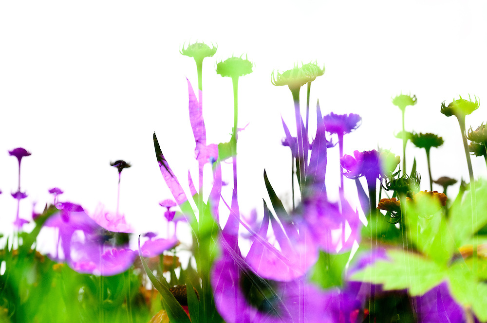 A multiple exposure of asters at the Center for Urban Horticulture.