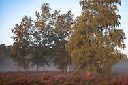 flowering common heather (Calluna vulgaris) and birch trees in the Wahner Heath near Telegraphen hill, morning fog,  Troisdorf, North Rhine-Westphalia, Germany.<br /> <br /> bluehende Besenheide (Calluna vulgaris) und Birken in der Wahner Heide nahe Telegraphenberg, Morgennebel,  Troisdorf, Nordrhein-Westfalen, Deutschland.