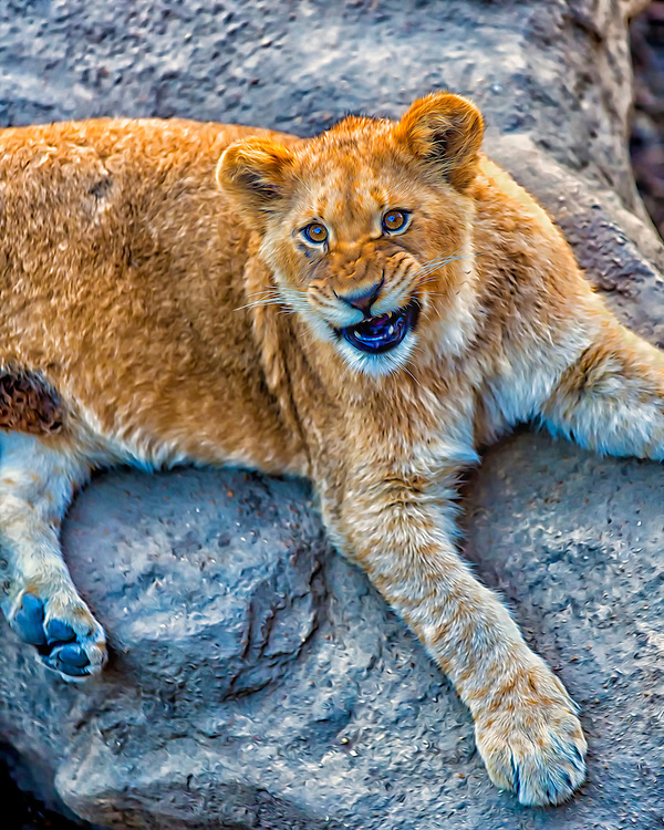 African lions live in a number of different habitats: grassy plains, open woodlands, semi-desert areas, even high mountains. They eat anything they can catch and kill, including antelope, zebra and buffalo
