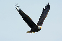 American bald eagle, Haliaeetus, leucocephalus, fishing at the Conowingo Dam, Susquehanna River in Maryland.