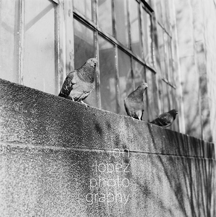 Three pigeons in Brooklyn, NY. January 2018. Photo by Jon Lopez.