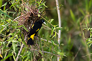 A yellow-rumped cacique, Cacicus cela, at the nest.