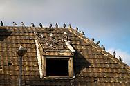 pigeons on a roof of an old abandoned harbor building in the port Deutz, Cologne, Germany.<br /> <br /> Tauben auf einem Dach eines alten leerstehenden Hafengebaeudes im Deutzer Hafen, Koeln, Deutschland.