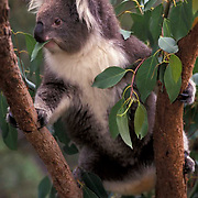 Koala, (Phascolarctos cinereus) Feeding on eucalyptus leaves. Australia. Captive Animal.