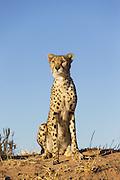 Cheetah <br /> Acinonyx jubatus<br /> Cheetah Conservation Fund, Namibia<br /> *Captive - rescued cheetahs